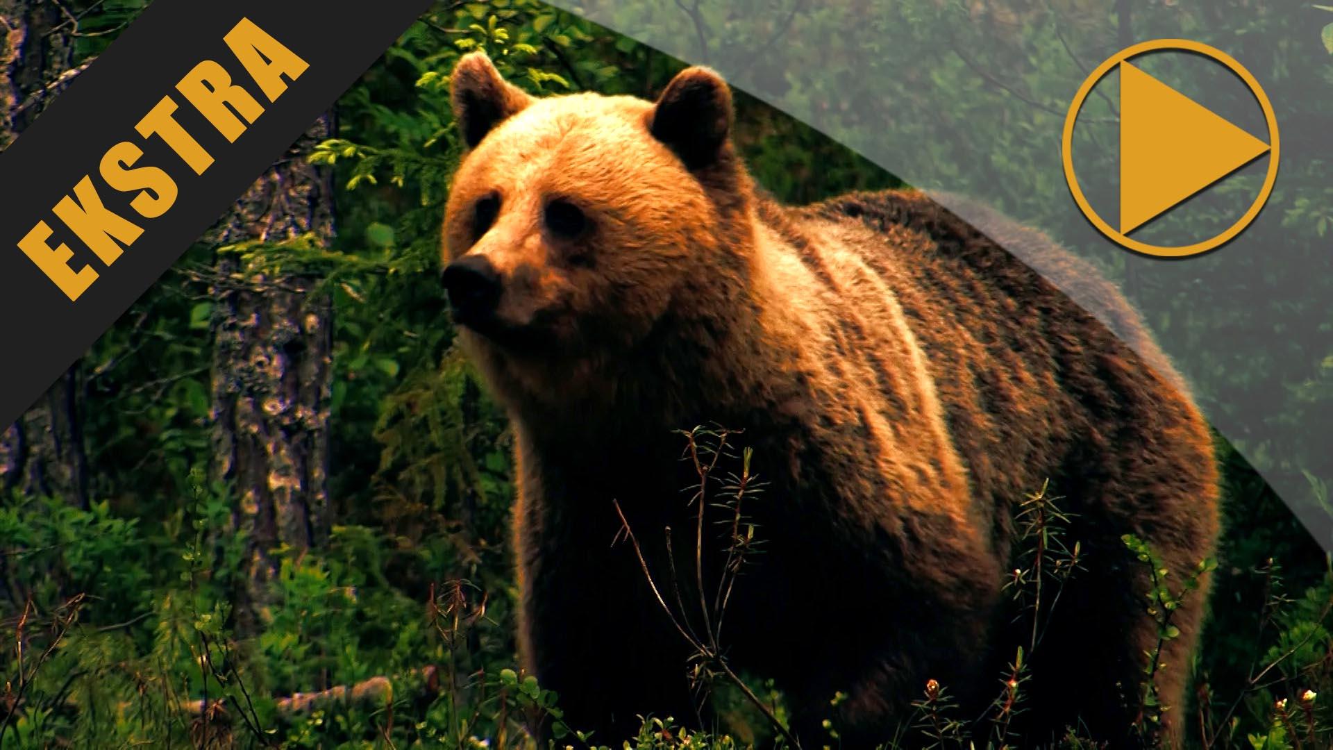 Skjegg i Blindgate: Bjørneprogram